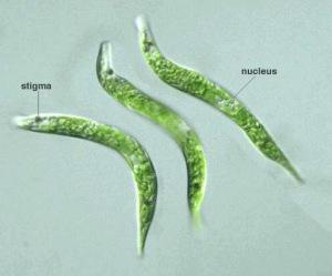 En el ecosistema de río Tinto se puede encontrar a ejemplares como esta Euglena mutabilis